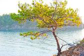 Borovice, rostoucí na skalnaté pobřeží moře — Stock fotografie