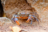 Large crab on the beach between the rocks — Foto de Stock