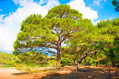Branchy pine in the pine forest summer — Stock Photo