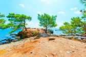 Pine growing on a rocky seashore — Stock Photo
