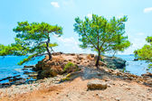 Beautiful pines grow on the peninsula — Stock Photo