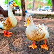 Two geese rest in the shade derever — Stock Photo