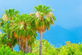 Tall palm trees against a blue sky rainy — Stock Photo