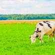 Spotted cow grazes on green meadow — Stock Photo