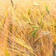 Stock Photo: Green ears of wheat in yellow field of Russian