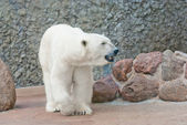 Beautiful polar bear near the stone wall — Stock fotografie