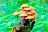 Bunch of toadstools growing on a stump in the forest — Stockfoto