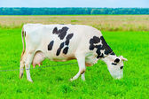 Cow on a leash eats juicy grass — Stock Photo