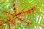 Ripe sea-buckthorn berries on branch — Stockfoto