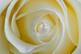 Bud delicate white rose closeup — Stock Photo