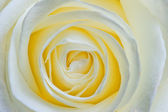 Belle fleur ouverte blanc rose macro — Photo