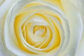 Krásný otevřený květ bílé růže makro — Stock fotografie