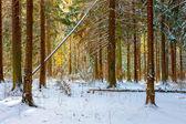 Ruské krásné borové lesy na zimní ráno — Stock fotografie