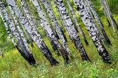 Summer green birch forest — Stock Photo