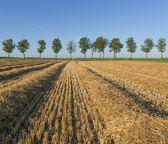 Corn field with trees — Stock Photo