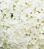 Blomma av hortensia — Stockfoto