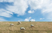 Sheep on Dike — Stock Photo
