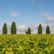 Vinyard with trees — Stock Photo