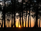 Sunset with pines — Stock Photo