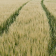Stock Photo: Grainfield
