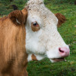 Head of cow — Stock Photo #31788221