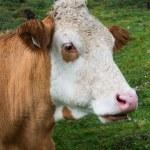 Head of cow — Stock Photo #31788221