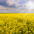 Field of rapeseed with beautiful cloud - plant for green energy.flowers of oil in rapeseed field with blue sky and clouds.Yellow field rapeseed in bloom with blue sky and white - Stock Photo