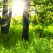 Sunlight in the green forest .green forest  sunrise.Green trees in park and sunlight — Stock Photo