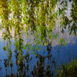Green willow branches lying over the river shore — Foto Stock