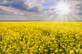 Field of rapeseed with beautiful cloud - plant for green energy.flowers of oil in rapeseed field with blue sky and clouds.Yellow field rapeseed in bloom with blue sky and white — Stock Photo
