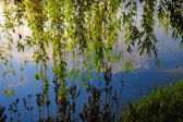 绿色的柳树枝躺在河岸边 — 图库照片