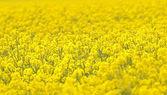 Campo de colza amarillo brillante en un día de brillante sol primavera. — Foto de Stock