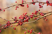 Branches with many res small fruits — Stock Photo