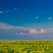 Sunflower field under beautiful dark blue sky.Field of sunflower and perfect blue sky.hilly field with fluffy white clouds in the blue sky.Landscape of field and sky.Wheat field over cloudy sky — Stock Photo #28357589