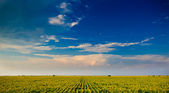 Sunflower field under beautiful dark blue sky.Field of sunflower and perfect blue sky.hilly field with fluffy white clouds in the blue sky.Landscape of field and sky.Wheat field over cloudy sky — Stock Photo