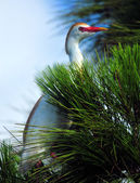 Egret in the Pine — Stock Photo