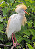 Profile of the Cattle Egret — Stock Photo