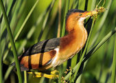 The Male Least Bittern — Stock Photo