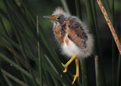 Least Bittern Chick — Stock Photo