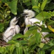 Egret in Nest — Stock Photo