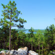 Mountain Pine — Stock Photo