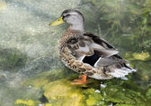 Duck in the Pond — Foto de Stock