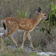 Key Deer Fawn — Foto de Stock