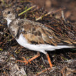 The Plover — Stock Photo