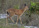 Key Deer Fawn — Stock Photo