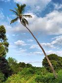 ココヤシの木 — ストック写真