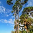 Tall Pine — Stock Photo #41065025
