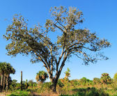 Live Oak — Stock Photo