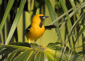 Altimira Oriole — Stockfoto