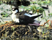 Black Necked Stilt — Stock fotografie